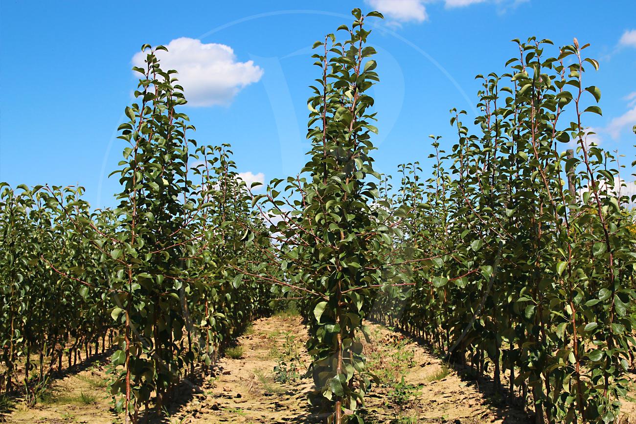 Jednoroczne drzewka gruszy, Lukasówka Pigwa S1