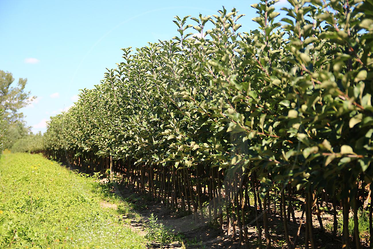 Dwuletnie drzewka jabłoni, Szampion Reno2 M9