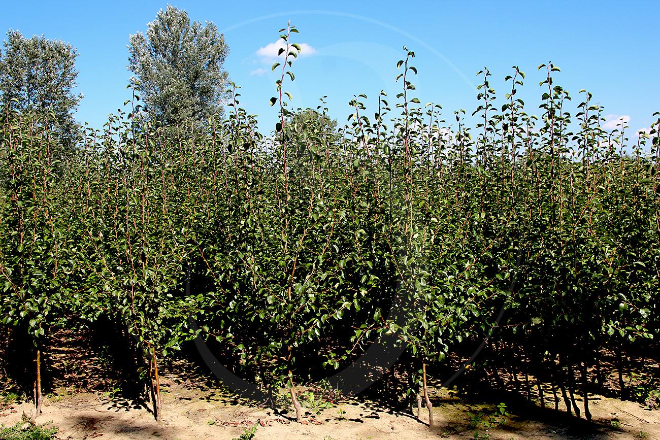 Dwuletnie drzewka gruszy, Lukasówka Pigwa S1